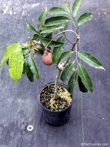 litchi-plants-500x500 Indoor Plants For Sale In Bangalore on indoor tulips, indoor plants for home, indoor plants for christmas, indoor plants-interior, indoor plants for aquarium, indoor birds, indoor gardening, indoor water plants on sale,