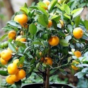 Bonsai Orange
