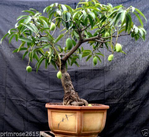 alphonso_0001 Indoor Plants For Sale In Bangalore on indoor tulips, indoor plants for home, indoor plants for christmas, indoor plants-interior, indoor plants for aquarium, indoor birds, indoor gardening, indoor water plants on sale,