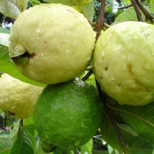 guava-menta-suuco-recipe