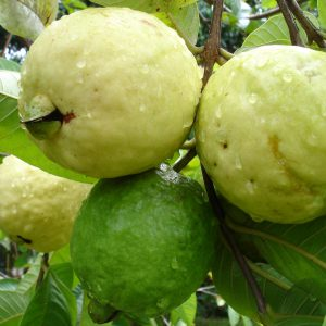 Buy sweet guava plant online