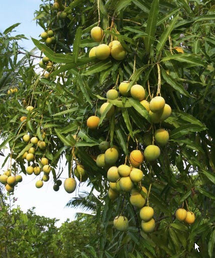 Mango Tree Pictures And Information