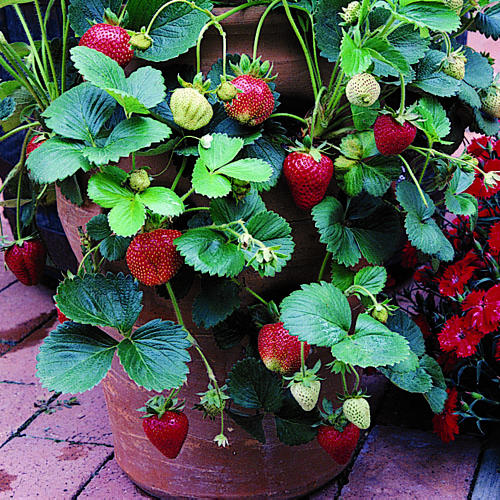 Growing Strawberries In A Planter: STRAWBERRY IMPORTED