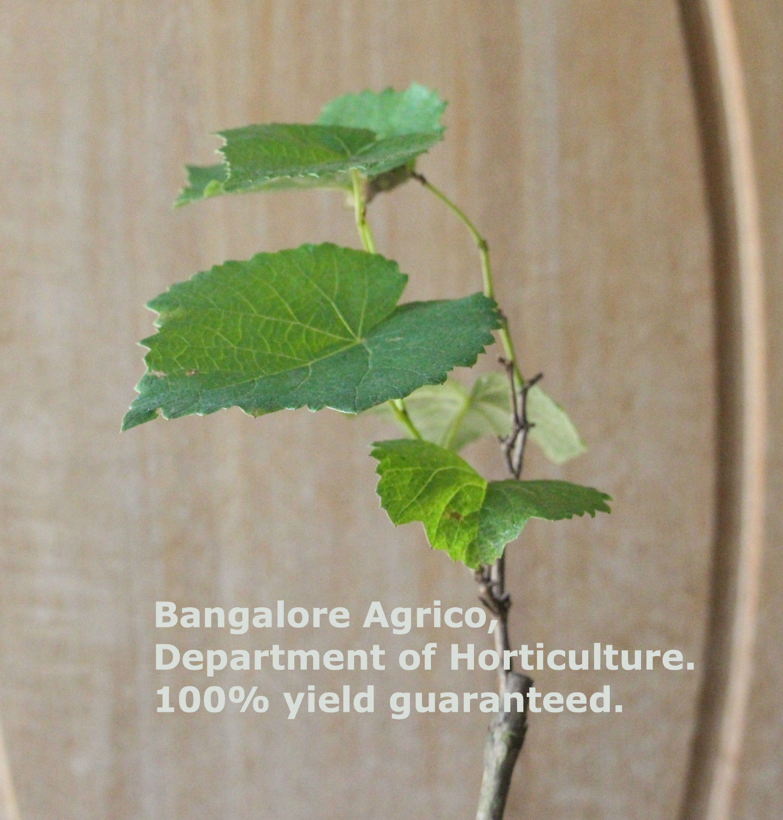 bangaloreagrico-grape