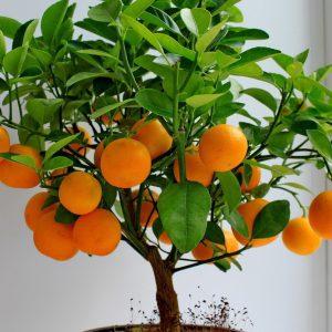 bonsai_orange_seed