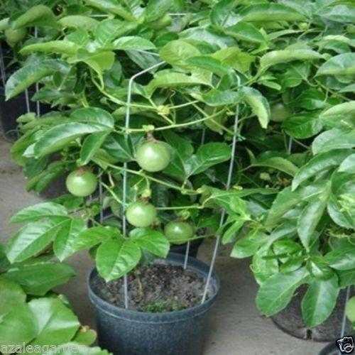 buy Passion fruit plant