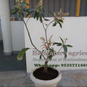 Bangalore Agrico Bonsai Mango
