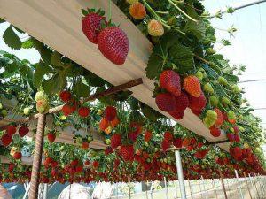 Strawberry plants - Bangalore Agrico