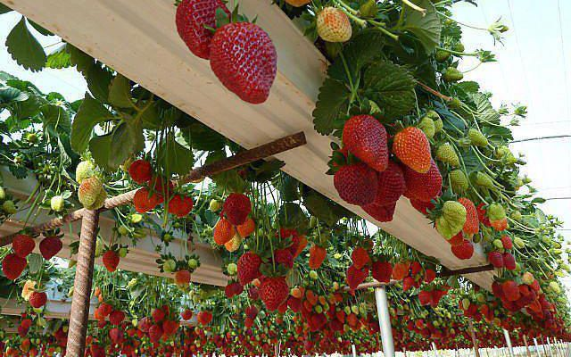 Strawberry plants - Bangalore Agrico