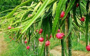 bangaloreagrico-Purple-Dragon-Fruit-Cactus-Pitaya-Free-Shipping
