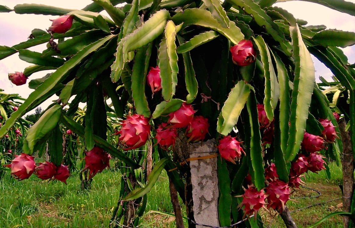 Image result for dragon fruit