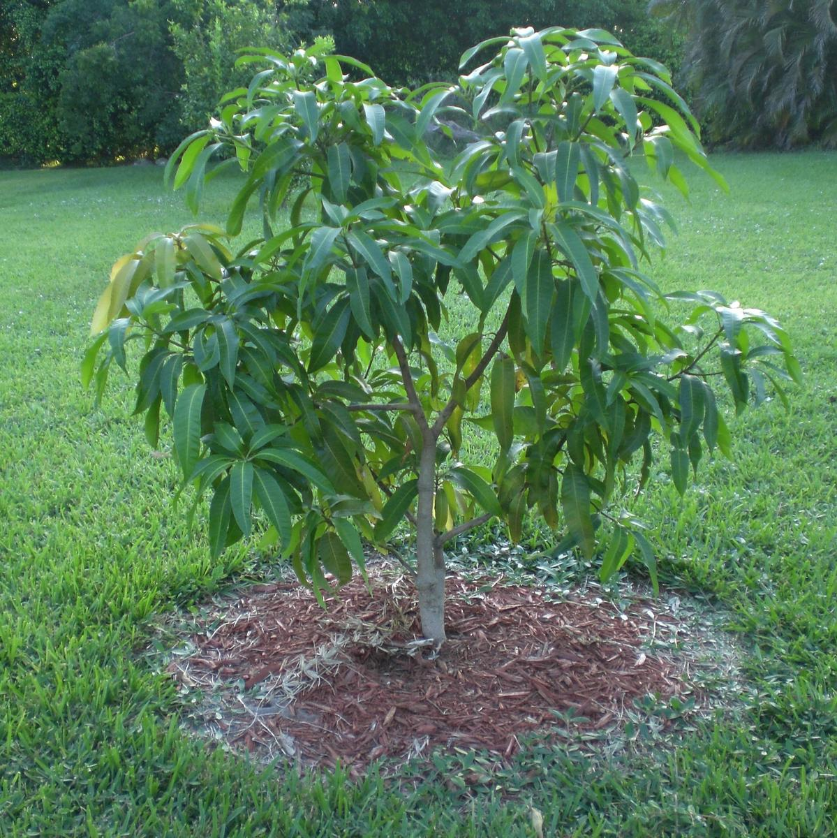 Как растет манго в домашних условиях фото