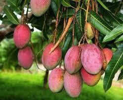 mango-tamilnadu-hybrid