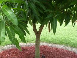 kerala-queen-mango