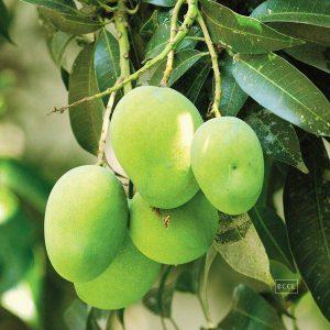 langra-langer-mango