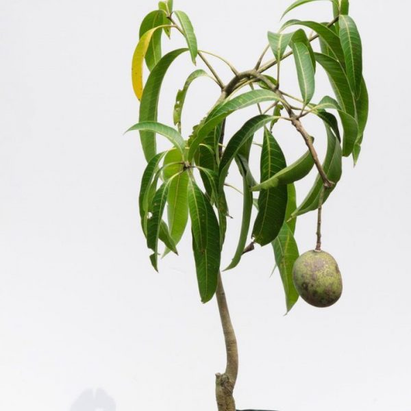 rare-mango-tree-kottukonam-grafted