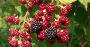 buy-blackberry-plant-online-india