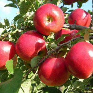 apple-plant-bangalore-agrico