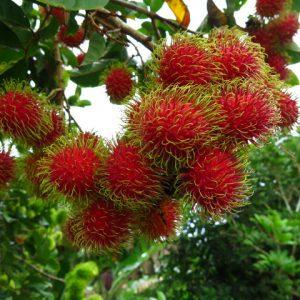 buy mangosteen online india | Bangalore Agrico