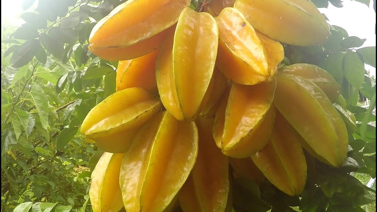 Buy Star Fruit Plant Online India | Bangalore Agrico