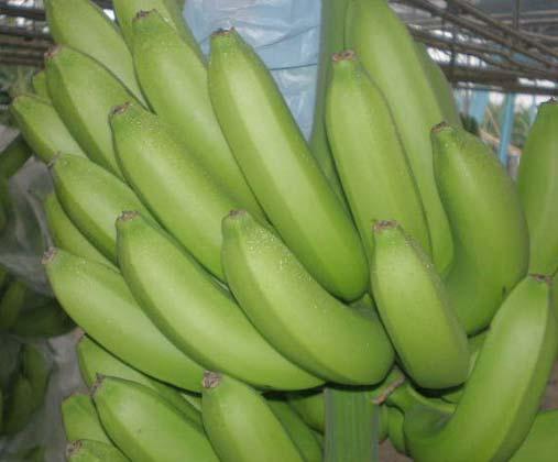 Buy Grand Naine Fruit Plant Online India Bangalore Agrico