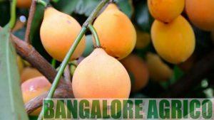 achachairu-buy-online-india