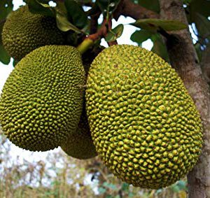 black-gold-jackfruit