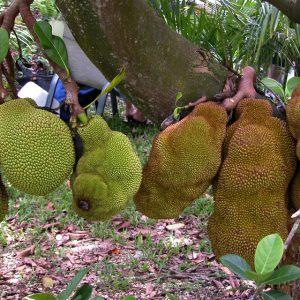 cheena-jackfruit