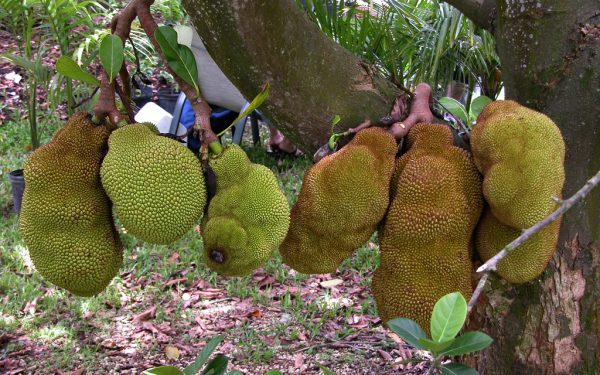 cheena-jackfruit