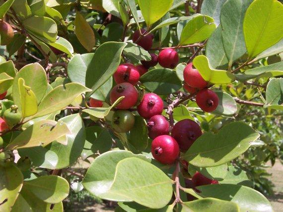 cherry-guva