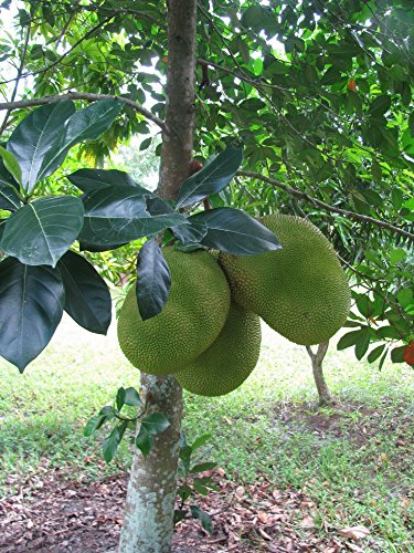 red-barlet-jackfruit