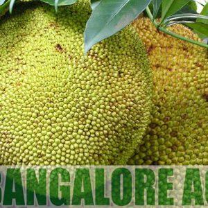 gumless-jackfruit-india